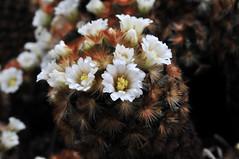 Mammiliaria carmenae (Michael Döring) Tags: bochum d300 botanischergarten querenburg ruhruniversitätbochum michaeldöring afs60microg