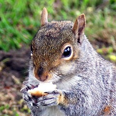 It`s all mine (Heaven`s Gate (John)) Tags: macro nature animal closeup fur rodent birmingham squirrel nuts canonhillpark johndalkin heavensgatejohn itsallmine