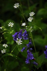 White star flowers (don't know its name) and bluebell