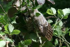 Tawny Owlet pre rescue