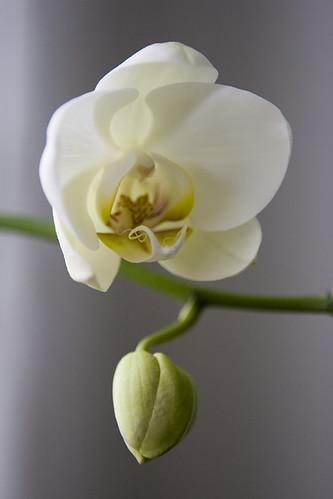 phalaenopsis 210511