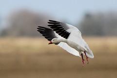 Snow Goose (Alan Gutsell) Tags: snowgoose snow goose wildlife nature alan photo flying texas katy