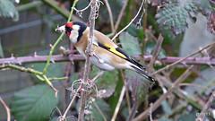 Goldfinch (Carduelis carduelis) (postman.pete) Tags: wickedweasel goldfinch great lumix tit water winter ahighlycolouredfinchwithabrightredfaceandyellowwingpatchsociable oftenbreedinginloosecolonies theyhaveadelightfulliquidtwitteringsongandcalltheirlongfinebeaksallowthemtoextractotherwiseinaccessibleseedsfromthistlesandteaselsincreasinglytheyarevisitingbirdtablesandfeedersinwintermanyukgoldfinchesmigrateasfar
