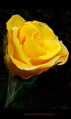Rose by Any other name (aroon_kalandy) Tags: flower nature rose yellow adobephotoshop kerala calicut excellentsflowers excellentsflower thesuperbmasterpiece aroonkalandy
