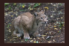 young lynx (cornettino) Tags: animal cat zoo austria lynx styria herberstein