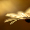 transcendent, specifically? Kantian (raceytay {I br♥ke for bokeh}) Tags: light white flower macro canon bokeh ps daisy heh soop hbw 100mmf28usm vsfd bokehliciousness bokehwednesday 5dmarkii yesanotherdaisy dheml daisery therecanneverbeenoughdaisery absolutelythemostbeautifulever returnedtofavagainbutcannot processedtotranscendancy donotunderstand