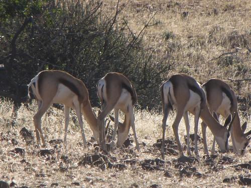 Damaraland: Springbok