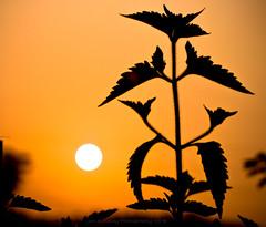 Sunrise Kung Fu (jon.noj) Tags: china plants silhouette sunrise explore shenzhen karatekid frontpage cgb guanlan interestingness20 nikond80 jonnoj jonbinalay sunrisekungfu