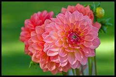 Fresh bouquet (Eric Flexyourhead (Onoharahigashi)) Tags: pink flowers canada green vancouver bc bokeh britishcolumbia vibrant peach vivid bouquet colourful dahlias mainstreetstation thorntonpark eatlocalorg olympuse3 smcpentaxm50mmf20 vancouverfarmersmarkets