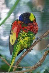 Rainbow Lorikeet: San Diego Zoo Wildlife Park (dbillian) Tags: park bird birds zoo rainbow san wildlife diego lorikeet lory lorikeets