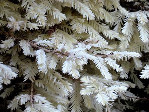 albinoredwood
