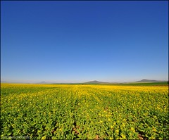 Canola Vertorama - My very first attempt (Craig Pitchers) Tags: flower southafrica nikon cape canola durbanville westerncape 10mm d90 1024mm vertorama