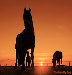 Sunset Silhouettes , This land is your land (The Family Dog) Tags: sunset horses horse digital caballo cheval rebel tramonto silhouettes cash fries johnny land ameland pferde cavallo pferd equine chevaux paard paarden equines friese friesche pferden