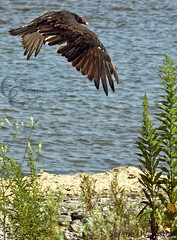 Ugly Beauty (CampCrazy Photography) Tags: ontario bird turkey dead wings lakeerie flight niagara smell ugly senses vulture carrion graceful flap soar talented odor plumage carcus portcolborne campcrazyphotography serenalivingston