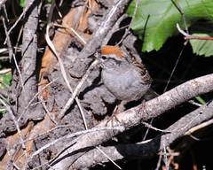 Chipping Sparrow (Robinsegg) Tags: wyoming grandtetonnationalpark chippingsparrow spizellapasserina