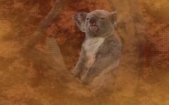 Wallpaper Ubuntu Karmic Koala