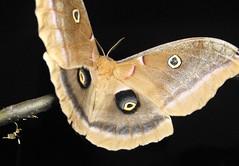 Polyphemus Moth Flying Off