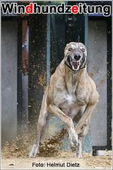 Greyhound Asgard's Earl