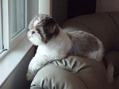 Chloe looking out at the backyard. (gix2lee) Tags: dog white shih tzu shihtzu chloe couch lee cutedog liver liondog patra brownandwhite brownandwhitedog liverandwhite shihtzudog brownandwhiteshihtzu chrysanthemumdog chloepatralee chloepatraleelapetitchocolat chrysanthemumliondog liverandwhiteshihtzu liverandwhiteshihtzubrownandwhiteshihtzu liverandwhitedog