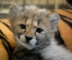 [フリー画像] [動物写真] [哺乳類] [ネコ科] [チーター]       [フリー素材]