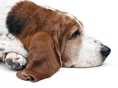 Cool down (edwindejongh) Tags: pictures dog pets sleepy lazy basset moe relaxed onwhite bassethound charly leavemealone animalportrait cooldown relaxt animalphotography dogportrait animalhandler slaperig pffff animaltraining ontspannen rashond edwindejongh hondenportret catvertise sabinevanderhelm afgepeigerd dierenmodellen animalmodellingcappcappdierenfotoscats
