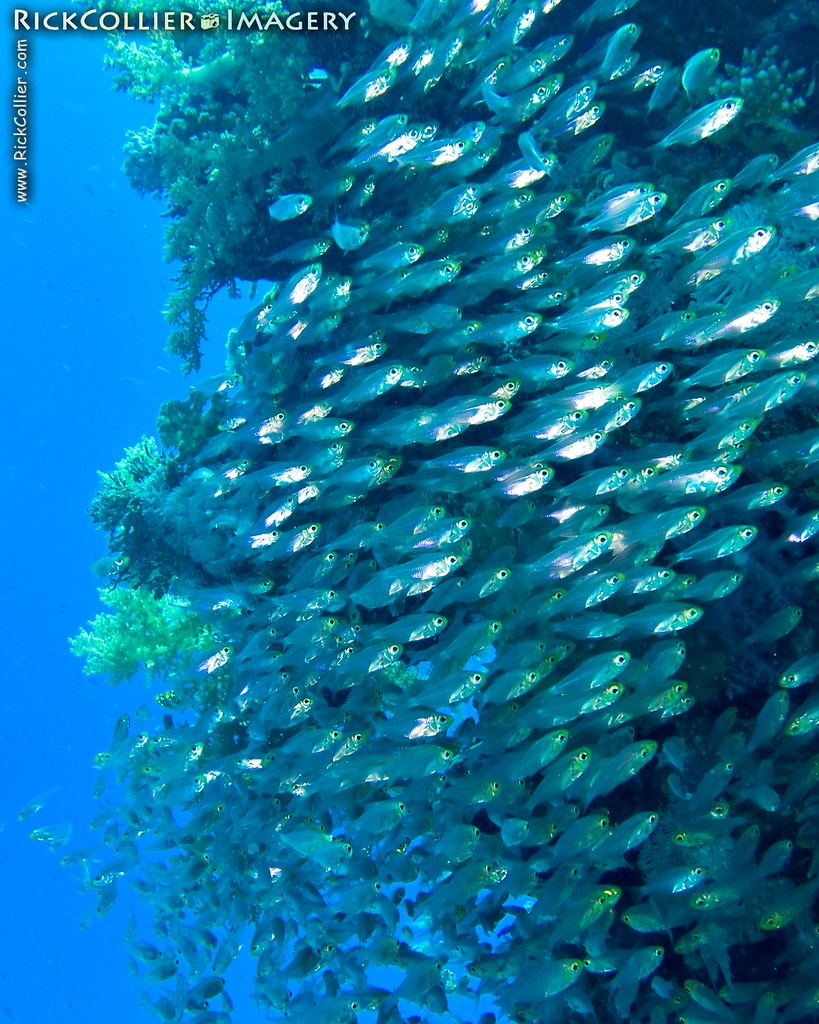 A school of glassfish (sweepers) swirls around a coral head in the Red Sea near Sharm el-Sheikh, Egypt.