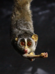 Roter Schlanklori / Red Slender Loris (Loris tardigradus) (Sexecutioner) Tags: red portrait cute nature animal animals digital canon germany deutschland zoo colorful hessen frankfurt wildlife natur primate 2009 loris slender affen affe frankfurterzoo primat primaten tardigradus schlanklori nachttierhaus noctarium loristardigradus grzimekhaus slenderloris roterschlanklori feuchtnasenaffen redslenderloris vosplusbellesphotos nachttier nachttiere copyrightsexecutioner slankelori lorisfino spensliglori