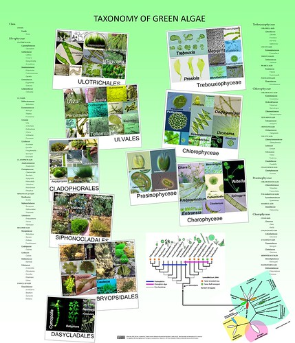 Taxonomy of green algae