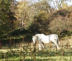 Hairy Highland (Elrenia_Greenleaf) Tags: park autumn trees plants green nature scotland scenery colours natural glasgow wildlife country milngavie mugdock