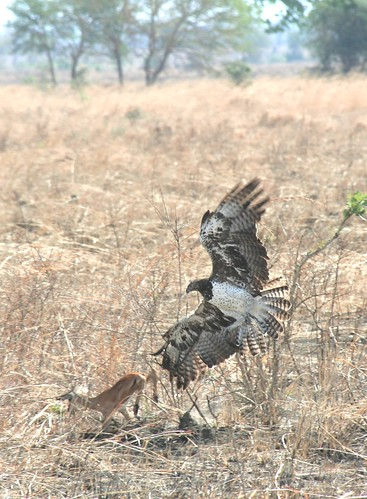 Martial Eagle attacking young Impala - Mikumi NP, Tanzania