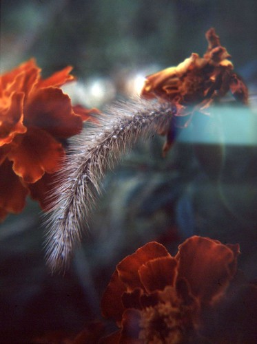 macro dark fuzzy weeds and marigolds056