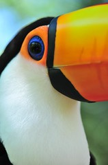 Up Close With a Toucan (Robert H Chapman) Tags: travel blue brazil favorite orange white black color colour macro bird eye nature argentina rain birds animal yellow closeup brasil america forest lens zoo toucan nikon colorful bills vibrant wildlife south watching profile beak favorites 100v10f falls explore exotic jungle heat tropical species paraguay popular iguazu watchers watcher iguassu toco lowangle toucans plumage birdpark ramphastossulfuratus 105mm ramphastos tocotoucan ramphastidae d700