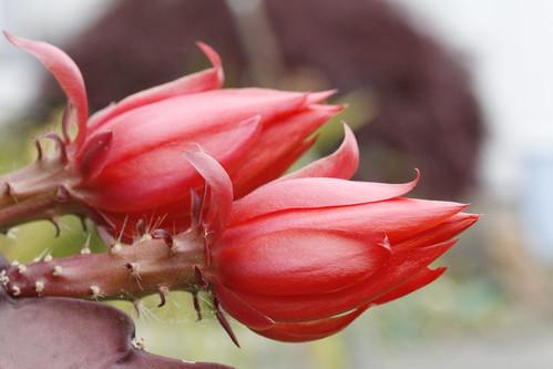 Cactus Flower Buds