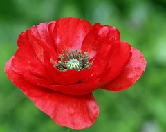 Remembrance Day (Mukumbura) Tags: uk red england memorial poppy remembranceday warmemorial greatwar firstworldwar memorialday veteransday armisticeday secondworldwar lestweforget binyon poppyday 11november thegloriousdead harrypatch atthegoingdownofthesun