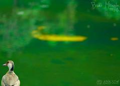 The Lonely Duck (MIRANDA, Bruno) Tags: verde green yellow brasil sãopaulo amarelo jardimbotânico littlelake patinho littleduck brunomiranda pequenolago