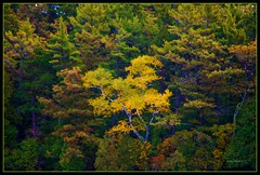 Why Not Be Different? (DMoutray - Denny Moutray Photography) Tags: flickrphoto dmoutray doorcounty 2009 trees fall gillsrock nature nikond60 rubyphotographer absolutelystunningscapes multimegashot vosplusbellesphotos