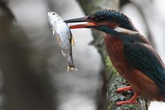 Eisvogel, NGID307634067 (naturgucker.de) Tags: deutschland alcedoatthis eisvogel naturguckerde schleswigholsteinhamburg nrdlicheswakenitzuferbeilbeckbrandenbaum cmichaelneubauer ngid307634067