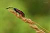 DARK DEVIL (Siprico - Silvano) Tags: canon moth natura macros farfalla coredo potofgold macrofotografia naturesfinest sixspotburnett macrofografia buzznbugz siprico fotografianaturalistica soloreflex pricoco wwwsipricoit httpwwwsipricoit silvanopricoco wwwpricocoorg