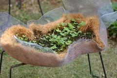 庭のレンゲソウ