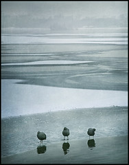 three in a row (biancavanderwerf) Tags: winter 3 snow holland texture ice water netherlands birds reflections three bianca