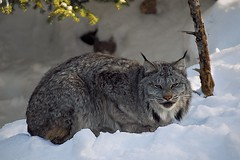 Lynx (Rock Arsenault) Tags: