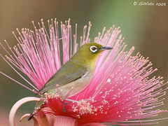 Japanese White Eye (Gillfoto) Tags: ngc zosteropsjaponicus japonicus coth inthemood cotcmostfavorited zosterops flickrsbest physis citrit bestofmywinners