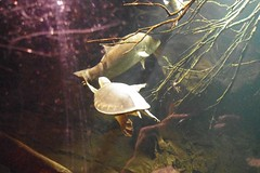 Sydney Aquarium - Wait for moi!! (Suman Dahal) Tags: sydney dugong sydneyaquarium dugongs