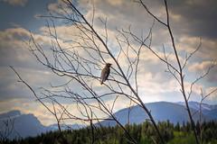 King of his domain (JoLoLog) Tags: canada mountains tree bird joe alberta kananaskiscountry bowvalleyprovincialpark canonxsi bymiddlelake