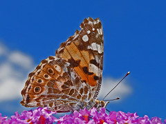 Schmetterling / Butterfly (Buridans Esel) Tags: macro butterfly makro schmetterling lumixaward wonderfulworldofflowers