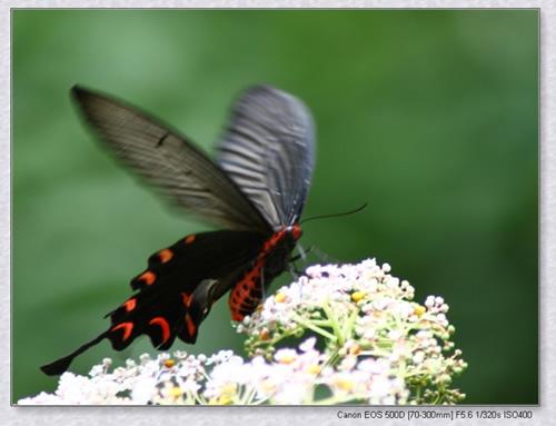 藏在秦岭里的漂亮蝴蝶