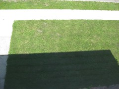 Dandelions in lawn #2