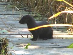 American Mink (kd_arvin) Tags: county mammal kevin wildlife american lilly mink area weasel habitat vison arvin tippecanoe ias mustela