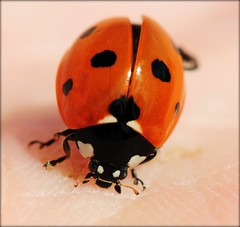 Ladybug explores my Hand (Habub3) Tags: red black macro rot nature animal closeup fauna bug insect photo nikon hand natur bugs explore ladybug makro frontpage insekt schwarz tier marienkfer d300 flickrsbest specanimal beautifulmonsters habub3