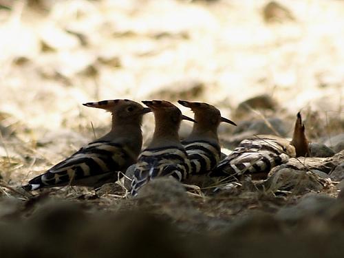 puputs - abubillas ( upupa epops)